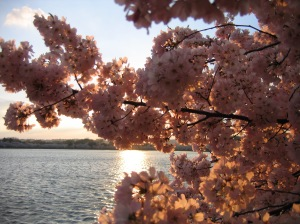 Cherry Blossoms along the Tidal Basin in Washington DC